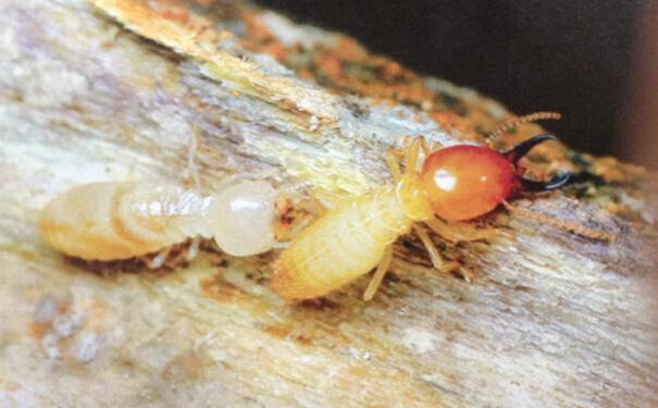 白蚁的的危害有哪些 防治白蚁,预防更重要图片