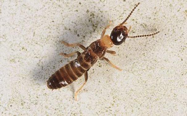 白蚁的危害,消灭破坏专家图片