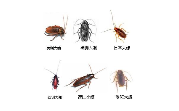 蜚蠊属于节肢动物门昆虫纲蜚蠊目