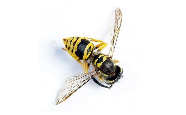 胡蜂的社会性结构并未如蜜蜂般特化