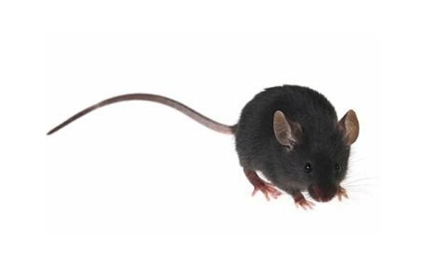 粮食贴画老鼠