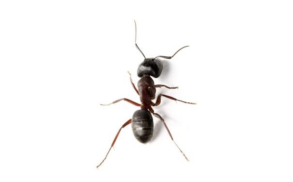 蚂蚁的结构图片