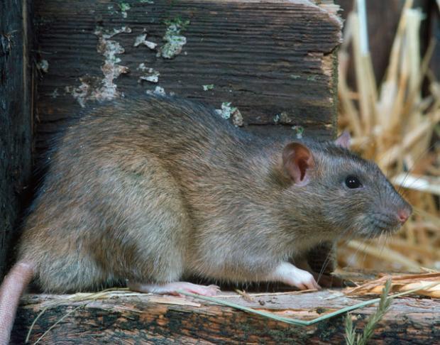 常见的鼠类动物