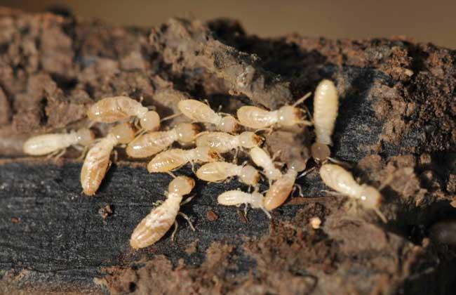 白蚁防治公司细数白蚁的危害图片