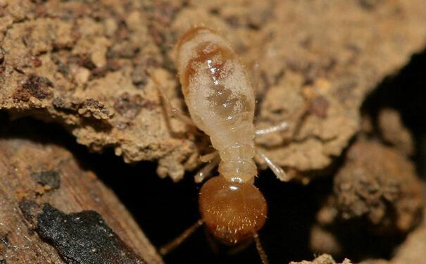 白蚁的危害以及最佳白蚁防治方法