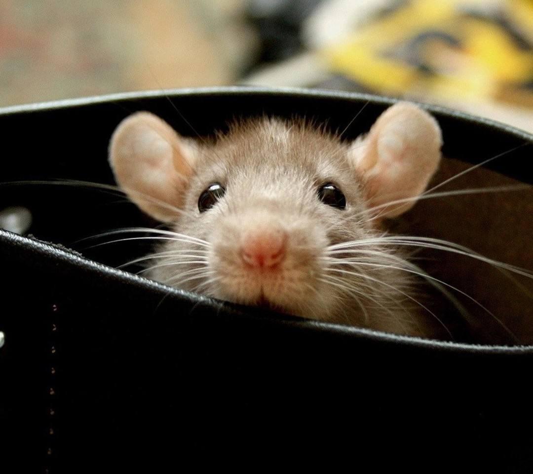 ⒉ 鼠是贪吃的动物,由于活动量大,生长快,其食量也非常大,老鼠
