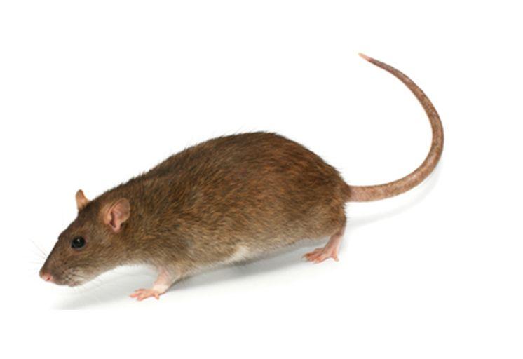 最广泛应用的灭鼠方法----毒饵