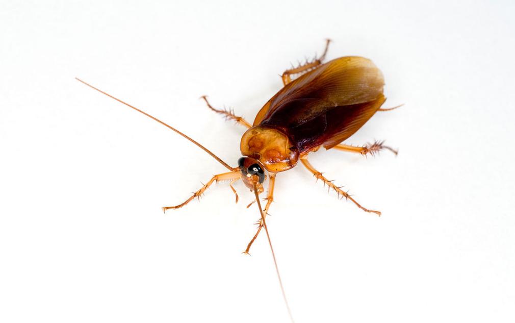 蟑螂的主要侵害场所和防治方法