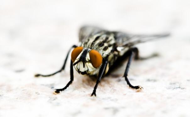 蛆如何变成苍蝇_苍蝇怎么消灭?杀虫公司给您最佳方法【帮帮百科】