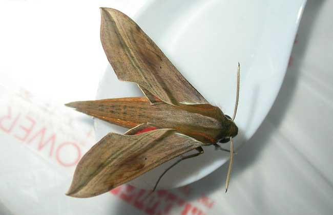 飞蛾是益虫还是害虫?