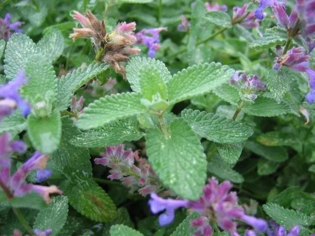 这些可以驱赶害虫的植物很适合种家里,丝毫不孙色于观花植物